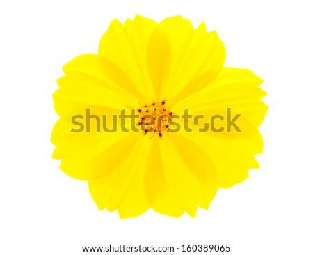 Yellow flower ( Cosmos flower ) on white background - stock photo