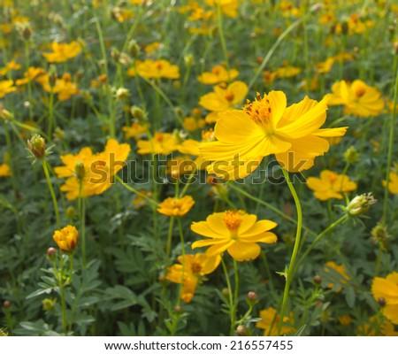 yellow flower feild  - stock photo
