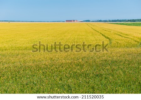 Yellow flower field, normandy, france - stock photo