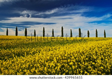 Yellow flower field with clear dark blue sky with white clouds, Tuscany, Italy. Yellow meadow with flower. Yellow bloom with cypress tree and blue sky. Field in the summer. Rape flower on the field. - stock photo