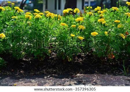yellow flower garden,meadow - stock photo