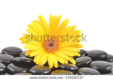 Yellow flower. Gerbera  daisy and spa stones with leaves.