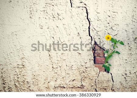 yellow flower growing on crack grunge wall, soft focus, blank text - stock photo