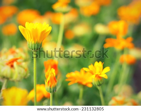 Yellow flower in garden, shallow DOF. - stock photo