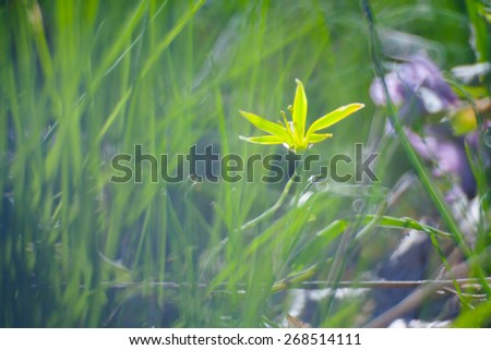 yellow flower in Green Summer Grass Meadow Close-Up With Bright Sunlight. Sunny Spring Background - stock photo