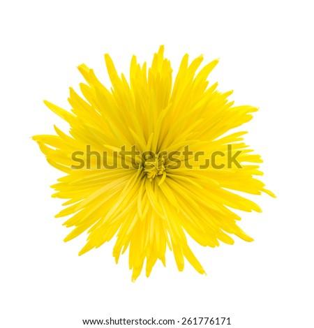 Yellow flower isolated on white background - stock photo