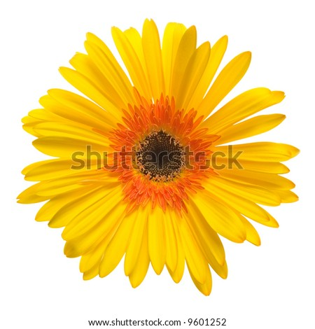 yellow flower isolated over white background - stock photo