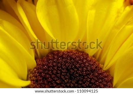 Yellow flower macro - stock photo