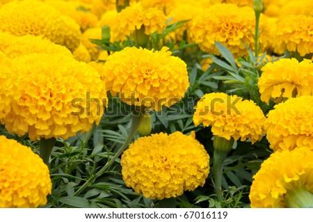 Yellow Flower, Marigold - stock photo