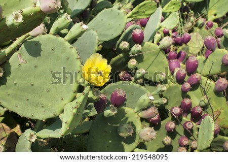 Yellow flower of green bloomy cactus with bee on it  - stock photo