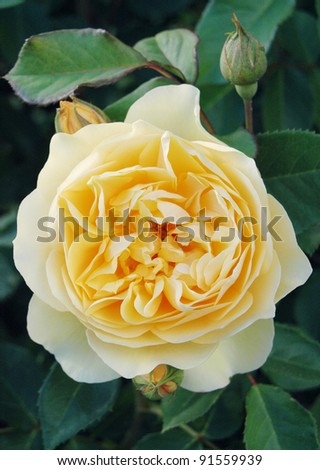 Yellow flower of Rosa Graham Thomas - stock photo