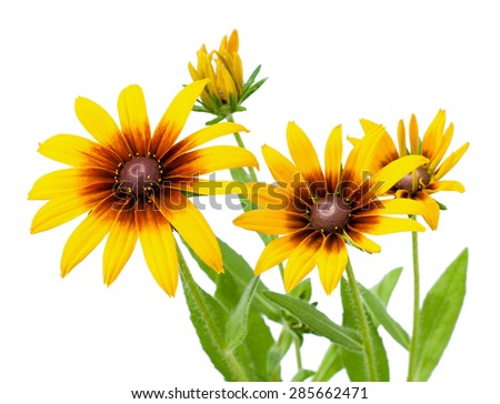 Yellow flower of Rudbeckia hirta or Black Eyed Susan with stem, isolated on white - stock photo