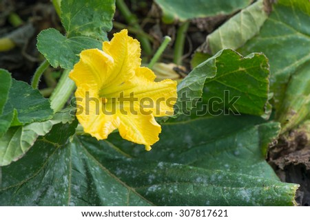 Yellow flower of the pumpkin in vegetable garden - stock photo