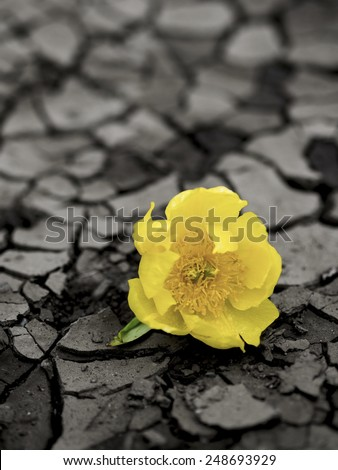 Yellow Flower on cracked mud ground