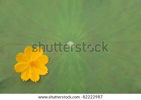 yellow flower on lotus leaf. - stock photo