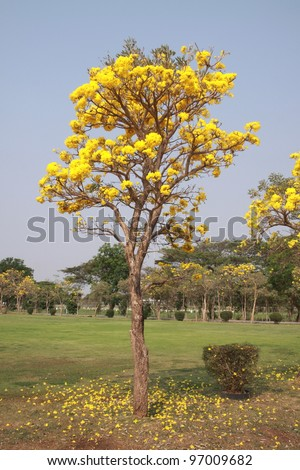 Yellow flower on sunny day golden stock photo royalty free yellow flower on sunny day golden tree tabebuia chrysanthe scitific name mightylinksfo Gallery