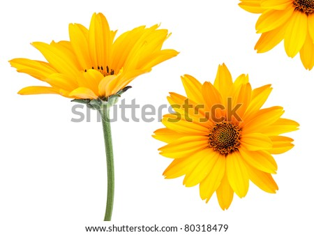 Yellow flower set closeup isolated on white background - stock photo