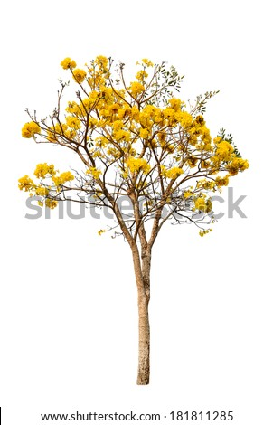 Yellow flower ( Silver trumpet tree ) isolated on white  - stock photo