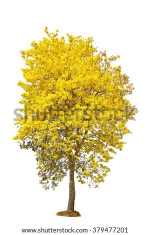 Yellow Flower Tree Golden Trumpet Tabebuia Stock Photo ...
