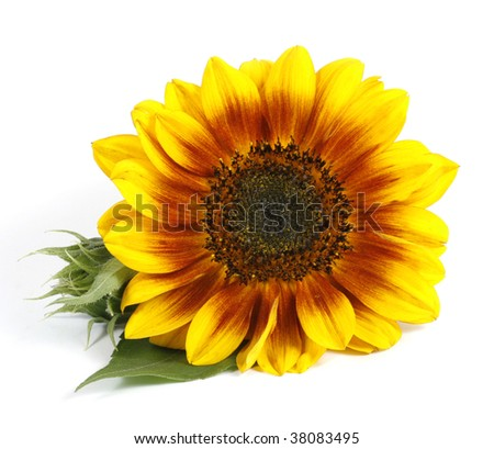Yellow flower with a green leaf on the white background