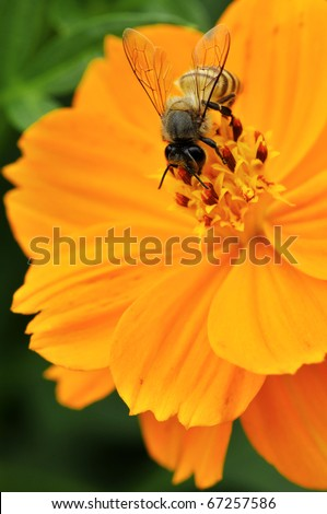 Yellow Flower with Asian Bee - stock photo