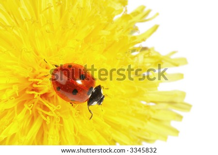 Yellow flower with ladybug isolated on white