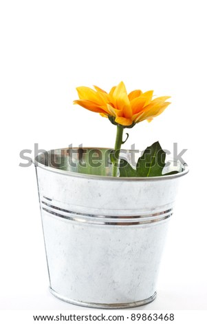 yellow flowering Chrysanthemums in a bucket on a white background