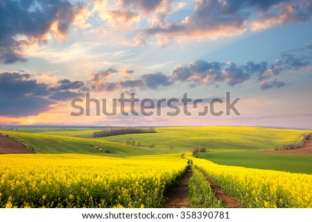 Yellow flowering fields, ground road and beautiful valley, nature spring landscape - stock photo