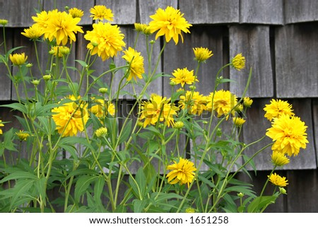 Yellow flowering perennial contrasting against weathered shingles