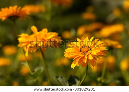 yellow flowering perennial (Heliopsis) in the garden - stock photo