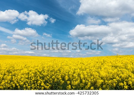 Yellow flowering rapeseed field - amazing farmland countryside. Blooming colza plants and blue sky with white clouds. Landscape with yellow flowers of rapeseed. Czech Republic, Europe. - stock photo