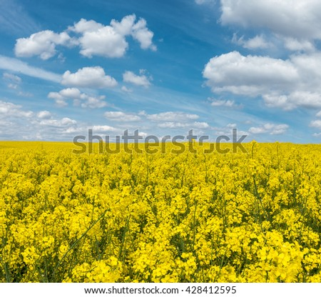 Yellow flowering rapeseed field and blue sky with white clouds - amazing spring rural countryside in Czech Republic, Europe - stock photo