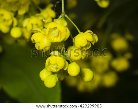 Yellow flowers and buds cluster on blooming Common or European Barberry, Berberis Vulgaris, with bokeh background macro, selective focus, shallow DOF - stock photo