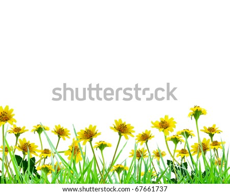 Yellow flowers and fresh spring green grass over white background