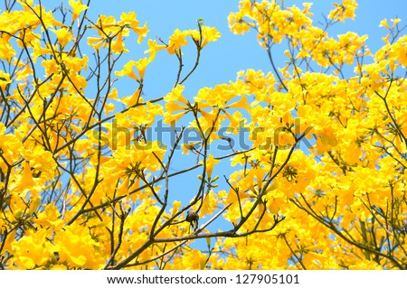 yellow flowers bloom in spring - stock photo