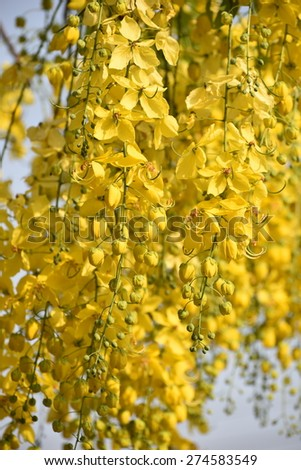 Yellow flowers blossoming in spring time, natural background - stock photo