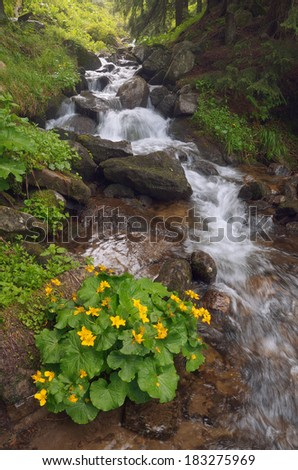 Yellow flowers Caltha palustris in a mountain stream. Forest landscape with a bush of flowers and a mountain stream. Carpathians, Ukraine - stock photo