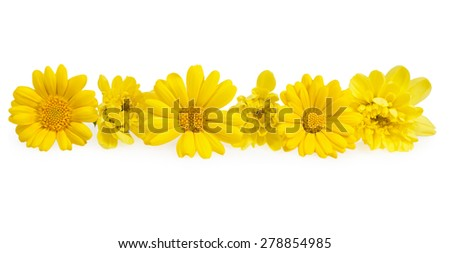 Yellow flowers chrysanthemum in a row on a white background
