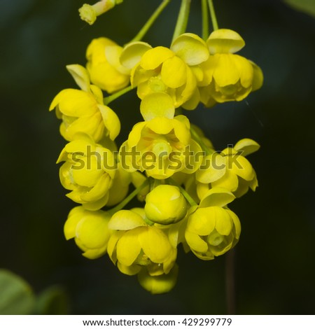 Yellow flowers cluster on blooming Common or European Barberry, Berberis Vulgaris, macro, selective focus, shallow DOF - stock photo