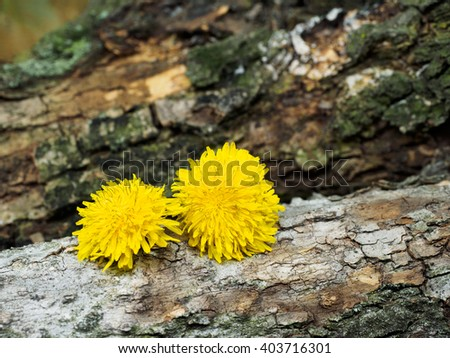 Yellow flowers Dandelion in spring