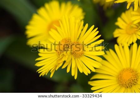 Yellow flowers double headed - stock photo