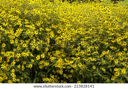 Yellow flowers in a garden - stock photo