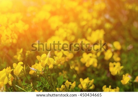 Yellow flowers in field with sunset - stock photo