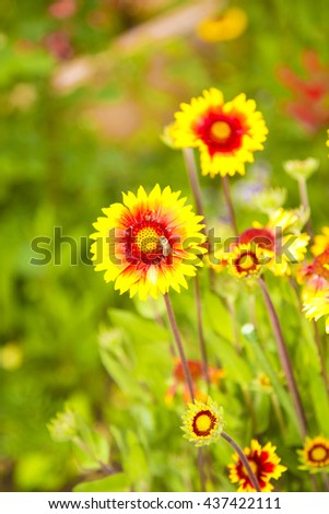 yellow flowers in garden on green background ,bee  on flower ,long petals, amazing ,floral, orange ,yellow flowers with red in the middle ,delicate, special ,sun