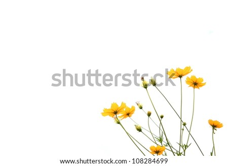 yellow flowers in isolated