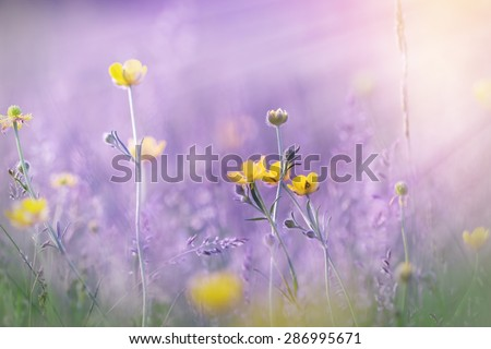 Yellow flowers in meadow illuminated by sun rays (lit by sunbeams) - stock photo