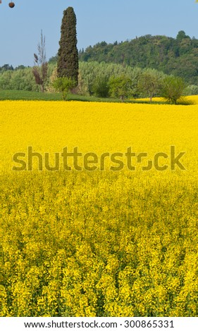 Yellow flowers in Vicenza Italy