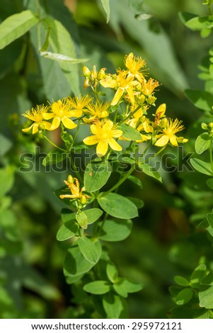 Yellow flowers of a buttercup on a meadow lit with the sun and with  bumblebee - stock photo
