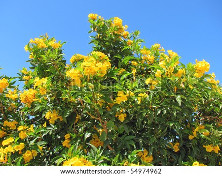 Yellow flowers of  Bush allamanda (Allamanda schottii) against blue sky - stock photo