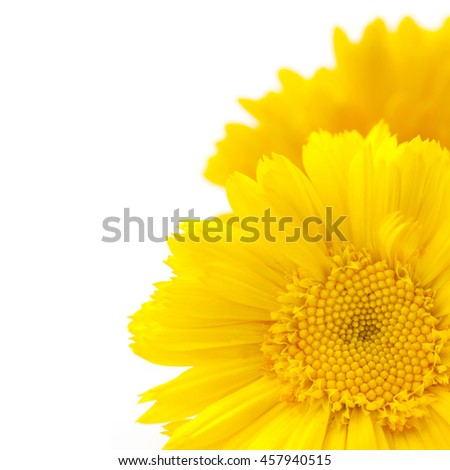 yellow flowers of calendula, details